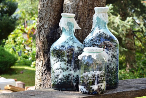 Herstellung von Aroniabeerensaft in großen Gläsern mit Beeren und Zucker.