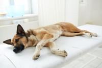 Liegender Hund, der Erste Hilfe benötigt