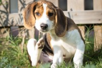 Beaglehund kratzt sich wegen Hundeflöhen im Garten